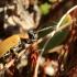 Blindinis rusvys - Lochmaea caprea | Fotografijos autorius : Ramunė Vakarė | © Macrogamta.lt | Šis tinklapis priklauso bendruomenei kuri domisi makro fotografija ir fotografuoja gyvąjį makro pasaulį.