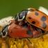 Boružė - Hippodamia variegata | Fotografijos autorius : Žilvinas Pūtys | © Macrogamta.lt | Šis tinklapis priklauso bendruomenei kuri domisi makro fotografija ir fotografuoja gyvąjį makro pasaulį.