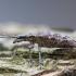 Briaunotasis ragijus - Rhagium inquisitor | Fotografijos autorius : Žilvinas Pūtys | © Macrogamta.lt | Šis tinklapis priklauso bendruomenei kuri domisi makro fotografija ir fotografuoja gyvąjį makro pasaulį.