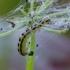 Builinė deprezarija - Depressaria chaerophylli | Fotografijos autorius : Romas Ferenca | © Macrogamta.lt | Šis tinklapis priklauso bendruomenei kuri domisi makro fotografija ir fotografuoja gyvąjį makro pasaulį.