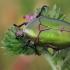 Dėmėtasis auksavabalis - Protaecia cuprea obscura | Fotografijos autorius : Gintautas Steiblys | © Macrogamta.lt | Šis tinklapis priklauso bendruomenei kuri domisi makro fotografija ir fotografuoja gyvąjį makro pasaulį.