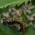 Chalcidas - Eulophus abdominalis, lervos | Fotografijos autorius : Žilvinas Pūtys | © Macrogamta.lt | Šis tinklapis priklauso bendruomenei kuri domisi makro fotografija ir fotografuoja gyvąjį makro pasaulį.