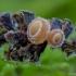Alksninė ciborija - Ciboria amentacea | Fotografijos autorius : Eglė Vičiuvienė | © Macrogamta.lt | Šis tinklapis priklauso bendruomenei kuri domisi makro fotografija ir fotografuoja gyvąjį makro pasaulį.