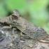 Cikadėlė - Ledra aurita | Fotografijos autorius : Romas Ferenca | © Macrogamta.lt | Šis tinklapis priklauso bendruomenei kuri domisi makro fotografija ir fotografuoja gyvąjį makro pasaulį.