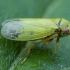 Cikadėlė - Oncopsis flavicollis ♀ | Fotografijos autorius : Žilvinas Pūtys | © Macrogamta.lt | Šis tinklapis priklauso bendruomenei kuri domisi makro fotografija ir fotografuoja gyvąjį makro pasaulį.