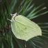 Citrinukas - Gonepteryx rhamni | Fotografijos autorius : Kazimieras Martinaitis | © Macrogamta.lt | Šis tinklapis priklauso bendruomenei kuri domisi makro fotografija ir fotografuoja gyvąjį makro pasaulį.