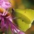 Citrinukas - Gonepteryx rhamni ♂ | Fotografijos autorius : Gintautas Steiblys | © Macrogamta.lt | Šis tinklapis priklauso bendruomenei kuri domisi makro fotografija ir fotografuoja gyvąjį makro pasaulį.