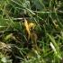 Gelsvasis žagarenis - Clavulinopsis helvola | Fotografijos autorius : Vytautas Gluoksnis | © Macrogamta.lt | Šis tinklapis priklauso bendruomenei kuri domisi makro fotografija ir fotografuoja gyvąjį makro pasaulį.