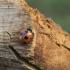 Coccinella magnifica | Fotografijos autorius : Giedrius Markevičius | © Macrogamta.lt | Šis tinklapis priklauso bendruomenei kuri domisi makro fotografija ir fotografuoja gyvąjį makro pasaulį.
