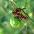 Crioceris duodecimpunctata (Linnaeus, 1758) | Fotografijos autorius : Vitalii Alekseev | © Macrogamta.lt | Šis tinklapis priklauso bendruomenei kuri domisi makro fotografija ir fotografuoja gyvąjį makro pasaulį.