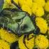 Dėmėtasis auksavabalis - Protaetia cuprea  | Fotografijos autorius : Kazimieras Martinaitis | © Macrogamta.lt | Šis tinklapis priklauso bendruomenei kuri domisi makro fotografija ir fotografuoja gyvąjį makro pasaulį.