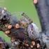 Dėmėtasis trūkininkas - Zygiella x-notata | Fotografijos autorius : Romas Ferenca | © Macrogamta.lt | Šis tinklapis priklauso bendruomenei kuri domisi makro fotografija ir fotografuoja gyvąjį makro pasaulį.