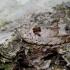 Dėmėtoji epinocija - Epinotia ramella | Fotografijos autorius : Romas Ferenca | © Macrogamta.lt | Šis tinklapis priklauso bendruomenei kuri domisi makro fotografija ir fotografuoja gyvąjį makro pasaulį.