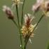 Daugiažiedis kiškiagrikis - Luzula multiflora | Fotografijos autorius : Gintautas Steiblys | © Macrogamta.lt | Šis tinklapis priklauso bendruomenei kuri domisi makro fotografija ir fotografuoja gyvąjį makro pasaulį.