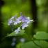 Daugiametė blizgė  (Lunaria rediviva)  | Fotografijos autorius : Saulius Drazdauskas | © Macrogamta.lt | Šis tinklapis priklauso bendruomenei kuri domisi makro fotografija ir fotografuoja gyvąjį makro pasaulį.