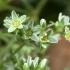 Daugiametė klėstenė - Scleranthus perennis | Fotografijos autorius : Ramunė Vakarė | © Macrogamta.lt | Šis tinklapis priklauso bendruomenei kuri domisi makro fotografija ir fotografuoja gyvąjį makro pasaulį.