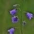 Didžiažiedis katilėlis - Campanula persicifolia | Fotografijos autorius : Kęstutis Obelevičius | © Macrogamta.lt | Šis tinklapis priklauso bendruomenei kuri domisi makro fotografija ir fotografuoja gyvąjį makro pasaulį.