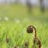 Didžialapis šakys – Pteridium aquilinum | Fotografijos autorius : Agnė Našlėnienė | © Macrogamta.lt | Šis tinklapis priklauso bendruomenei kuri domisi makro fotografija ir fotografuoja gyvąjį makro pasaulį.