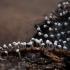 Didimis - Didymium sp. | Fotografijos autorius : Žilvinas Pūtys | © Macrogamta.lt | Šis tinklapis priklauso bendruomenei kuri domisi makro fotografija ir fotografuoja gyvąjį makro pasaulį.