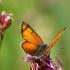 Žvilgantysis auksinukas - Lycaena hippothoe   Fotografijos autorius : Vidas Brazauskas   © Macrogamta.lt   Šis tinklapis priklauso bendruomenei kuri domisi makro fotografija ir fotografuoja gyvąjį makro pasaulį.