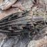Didysis blizgiavabalis - Chalcophora mariana | Fotografijos autorius : Kazimieras Martinaitis | © Macrogamta.lt | Šis tinklapis priklauso bendruomenei kuri domisi makro fotografija ir fotografuoja gyvąjį makro pasaulį.