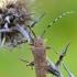 Didysis drebulenis - Saperda carcharias | Fotografijos autorius : Arūnas Eismantas | © Macrogamta.lt | Šis tinklapis priklauso bendruomenei kuri domisi makro fotografija ir fotografuoja gyvąjį makro pasaulį.