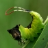 Didysis dviuodegis - Cerura vinula, vikšras  | Fotografijos autorius : Gintautas Steiblys | © Macrogamta.lt | Šis tinklapis priklauso bendruomenei kuri domisi makro fotografija ir fotografuoja gyvąjį makro pasaulį.