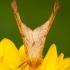 Didysis geltonsprindis - Ennomos autumnaria | Fotografijos autorius : Žilvinas Pūtys | © Macrogamta.lt | Šis tinklapis priklauso bendruomenei kuri domisi makro fotografija ir fotografuoja gyvąjį makro pasaulį.