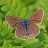 Didysis melsvys - Polyommatus amandus ♀ | Fotografijos autorius : Gintautas Steiblys | © Macrogamta.lt | Šis tinklapis priklauso bendruomenei kuri domisi makro fotografija ir fotografuoja gyvąjį makro pasaulį.