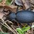 Didysis puošniažygis - Carabus coriaceus | Fotografijos autorius : Žilvinas Pūtys | © Macrogamta.lt | Šis tinklapis priklauso bendruomenei kuri domisi makro fotografija ir fotografuoja gyvąjį makro pasaulį.