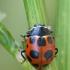 Dilgėlinė boružė - Hippodamia notata | Fotografijos autorius : Gintautas Steiblys | © Macrogamta.lt | Šis tinklapis priklauso bendruomenei kuri domisi makro fotografija ir fotografuoja gyvąjį makro pasaulį.