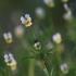 Dirvinė našlaitė - Viola arvensis | Fotografijos autorius : Agnė Našlėnienė | © Macrogamta.lt | Šis tinklapis priklauso bendruomenei kuri domisi makro fotografija ir fotografuoja gyvąjį makro pasaulį.