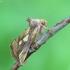 Dirvinis žvilgūnas - Plusia festucae | Fotografijos autorius : Vidas Brazauskas | © Macrogamta.lt | Šis tinklapis priklauso bendruomenei kuri domisi makro fotografija ir fotografuoja gyvąjį makro pasaulį.
