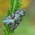 Dirvinis pelėdgalvis - Lacanobia thalassina | Fotografijos autorius : Aivaras Markauskas | © Macrogamta.lt | Šis tinklapis priklauso bendruomenei kuri domisi makro fotografija ir fotografuoja gyvąjį makro pasaulį.