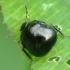Dobilinė kamuolblakė - Coptosoma scutellarum | Fotografijos autorius : Vidas Brazauskas | © Macrogamta.lt | Šis tinklapis priklauso bendruomenei kuri domisi makro fotografija ir fotografuoja gyvąjį makro pasaulį.