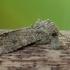 Dobilinis pelėdgalvis - Anarta trifolii | Fotografijos autorius : Žilvinas Pūtys | © Macrogamta.lt | Šis tinklapis priklauso bendruomenei kuri domisi makro fotografija ir fotografuoja gyvąjį makro pasaulį.