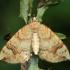 Drebulinis juostasprindis - Eulithis populata | Fotografijos autorius : Ramunė Vakarė | © Macrogamta.lt | Šis tinklapis priklauso bendruomenei kuri domisi makro fotografija ir fotografuoja gyvąjį makro pasaulį.
