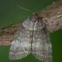 Drebulinis pūkanugaris - Ochropacha duplaris | Fotografijos autorius : Žilvinas Pūtys | © Macrogamta.lt | Šis tinklapis priklauso bendruomenei kuri domisi makro fotografija ir fotografuoja gyvąjį makro pasaulį.
