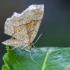 Gelsvasis miškasprindis | Little Thorn | Cepphis advenaria  | Fotografijos autorius : Darius Baužys | © Macrogamta.lt | Šis tinklapis priklauso bendruomenei kuri domisi makro fotografija ir fotografuoja gyvąjį makro pasaulį.