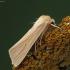 Paprastasis pievinukas - Mythimna pallens   Fotografijos autorius : Vidas Brazauskas   © Macrogamta.lt   Šis tinklapis priklauso bendruomenei kuri domisi makro fotografija ir fotografuoja gyvąjį makro pasaulį.