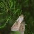 Taškuotasis pievinukas - Leucania obsoleta | Fotografijos autorius : Vidas Brazauskas | © Macrogamta.lt | Šis tinklapis priklauso bendruomenei kuri domisi makro fotografija ir fotografuoja gyvąjį makro pasaulį.