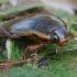 Dusia - Dytiscus dimidiatus ♂ | Fotografijos autorius : Gintautas Steiblys | © Macrogamta.lt | Šis tinklapis priklauso bendruomenei kuri domisi makro fotografija ir fotografuoja gyvąjį makro pasaulį.