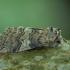 Dvidėmis pūkanugaris - Tethea or | Fotografijos autorius : Žilvinas Pūtys | © Macrogamta.lt | Šis tinklapis priklauso bendruomenei kuri domisi makro fotografija ir fotografuoja gyvąjį makro pasaulį.