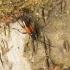 Dvijuostis grakštenis – Stenurella bifasciata | Fotografijos autorius : Giedrius Markevičius | © Macrogamta.lt | Šis tinklapis priklauso bendruomenei kuri domisi makro fotografija ir fotografuoja gyvąjį makro pasaulį.