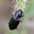 Vikriažygis - Pseudoophonus calceatus   Fotografijos autorius : Romas Ferenca   © Macrogamta.lt   Šis tinklapis priklauso bendruomenei kuri domisi makro fotografija ir fotografuoja gyvąjį makro pasaulį.