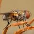 Dygliamusė - Ectophasia crassipennis ♀ | Fotografijos autorius : Žilvinas Pūtys | © Macrogamta.lt | Šis tinklapis priklauso bendruomenei kuri domisi makro fotografija ir fotografuoja gyvąjį makro pasaulį.