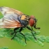 Dygliamusė - Phasia aurigera ♂ | Fotografijos autorius : Gintautas Steiblys | © Macrogamta.lt | Šis tinklapis priklauso bendruomenei kuri domisi makro fotografija ir fotografuoja gyvąjį makro pasaulį.