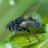 Dygliamusė - Ligeria angusticornis | Fotografijos autorius : Žilvinas Pūtys | © Macrogamta.lt | Šis tinklapis priklauso bendruomenei kuri domisi makro fotografija ir fotografuoja gyvąjį makro pasaulį.