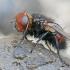 Dygliamusė - Gonia divisa   Fotografijos autorius : Gintautas Steiblys   © Macrogamta.lt   Šis tinklapis priklauso bendruomenei kuri domisi makro fotografija ir fotografuoja gyvąjį makro pasaulį.