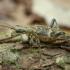 Dygusis ragijus - Rhagium mordax | Fotografijos autorius : Žilvinas Pūtys | © Macrogamta.lt | Šis tinklapis priklauso bendruomenei kuri domisi makro fotografija ir fotografuoja gyvąjį makro pasaulį.